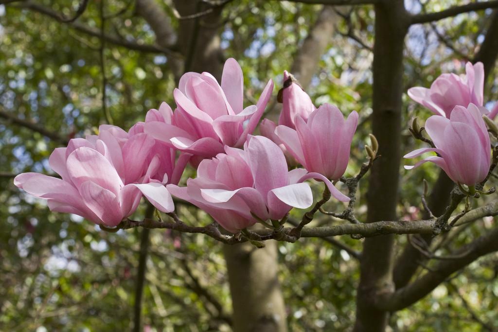 magnolia 'Peter Dummer'