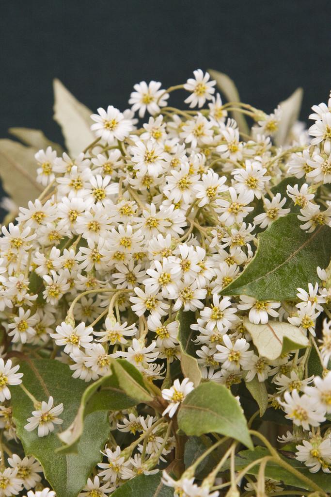 Cheeseman's daisy bush