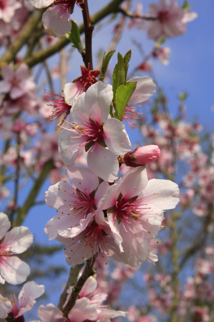 hybrid almond 'Ingrid'