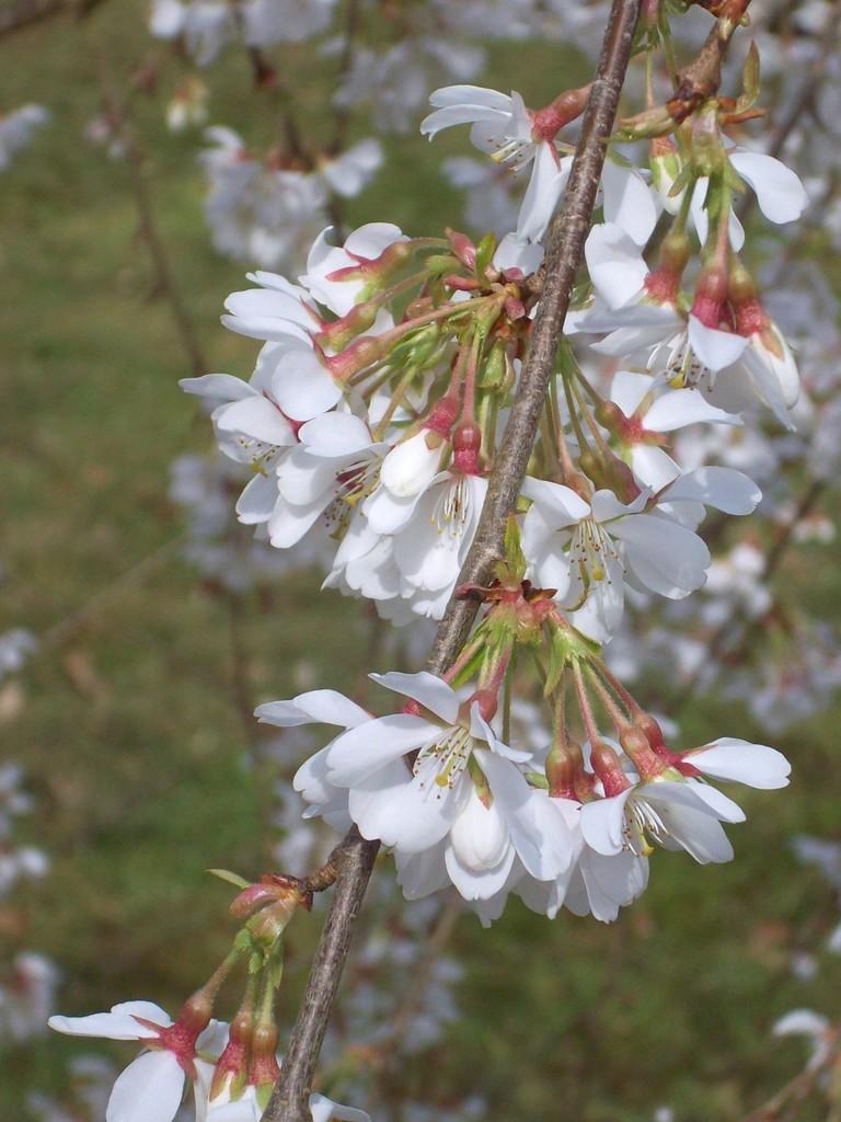<i>Prunus</i> × <i>yedoensis</i> 'Ivensii'