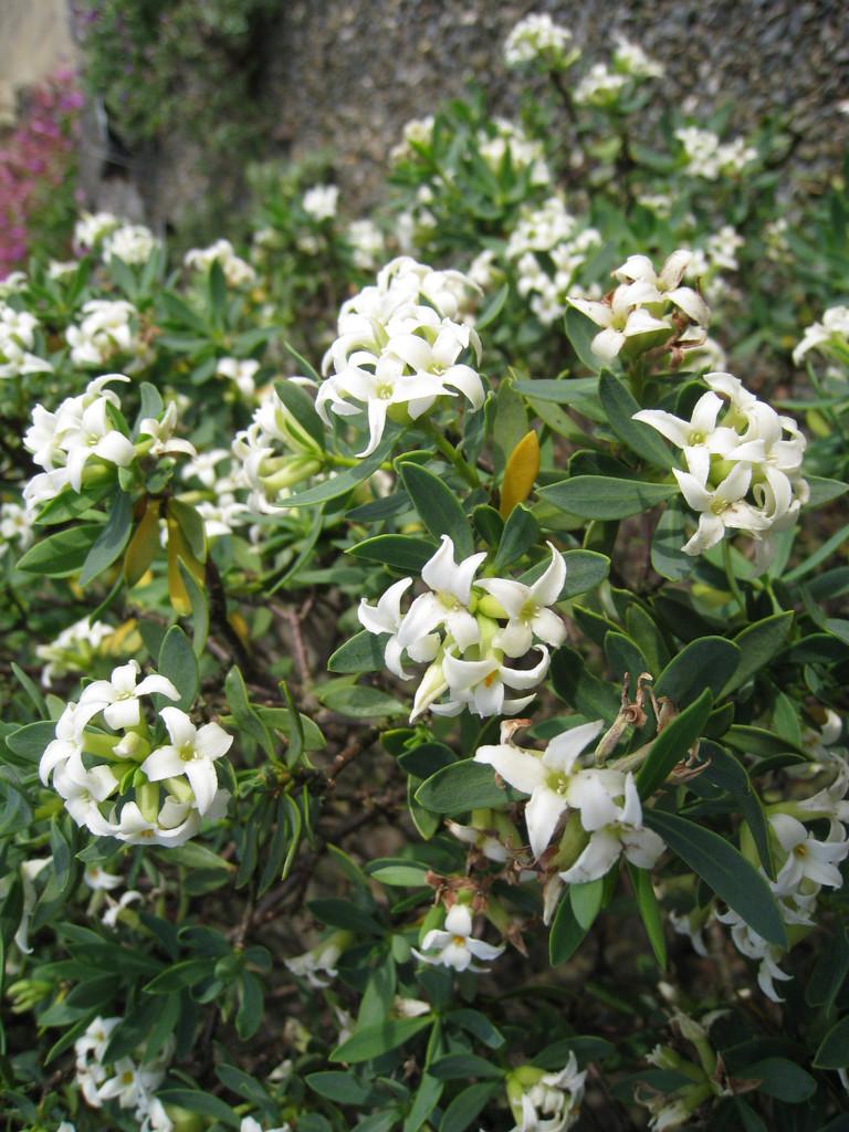 olive-leaved daphne