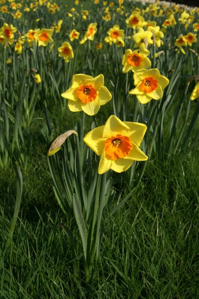 daffodil 'Border Beauty'