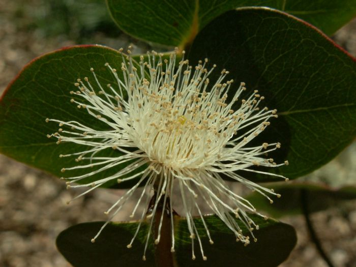 silver-leaved mountain gum