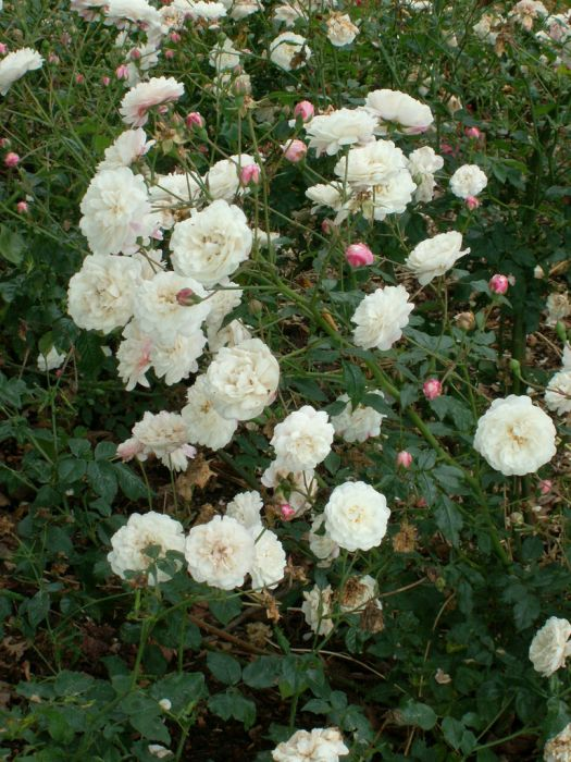 rose 'White Pet'
