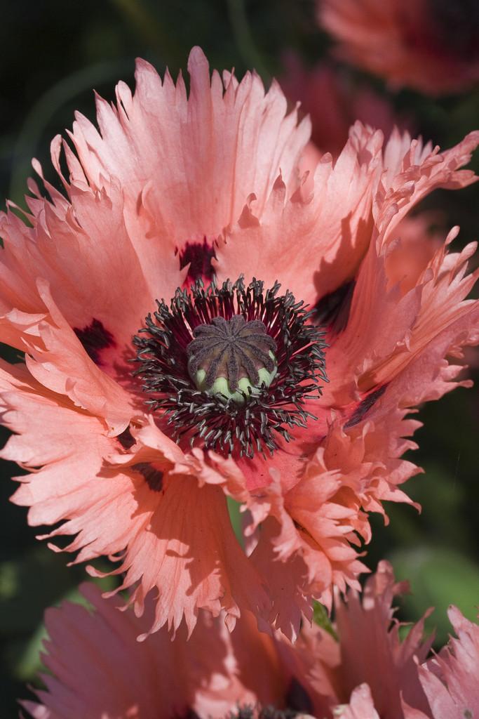 oriental poppy 'Forncett Summer'