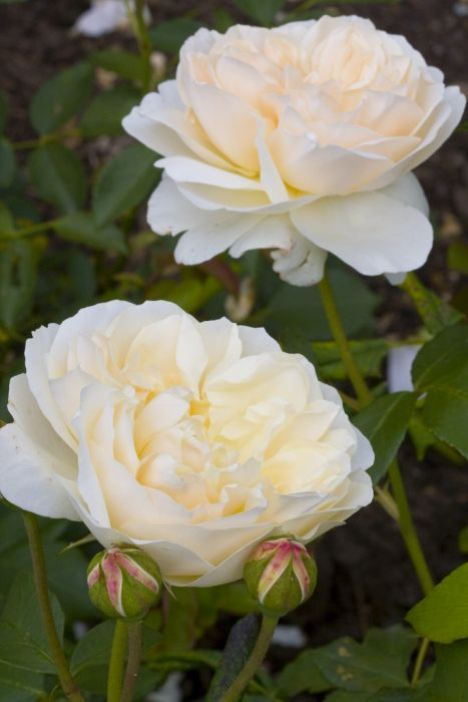 rose [Lichfield Angel]
