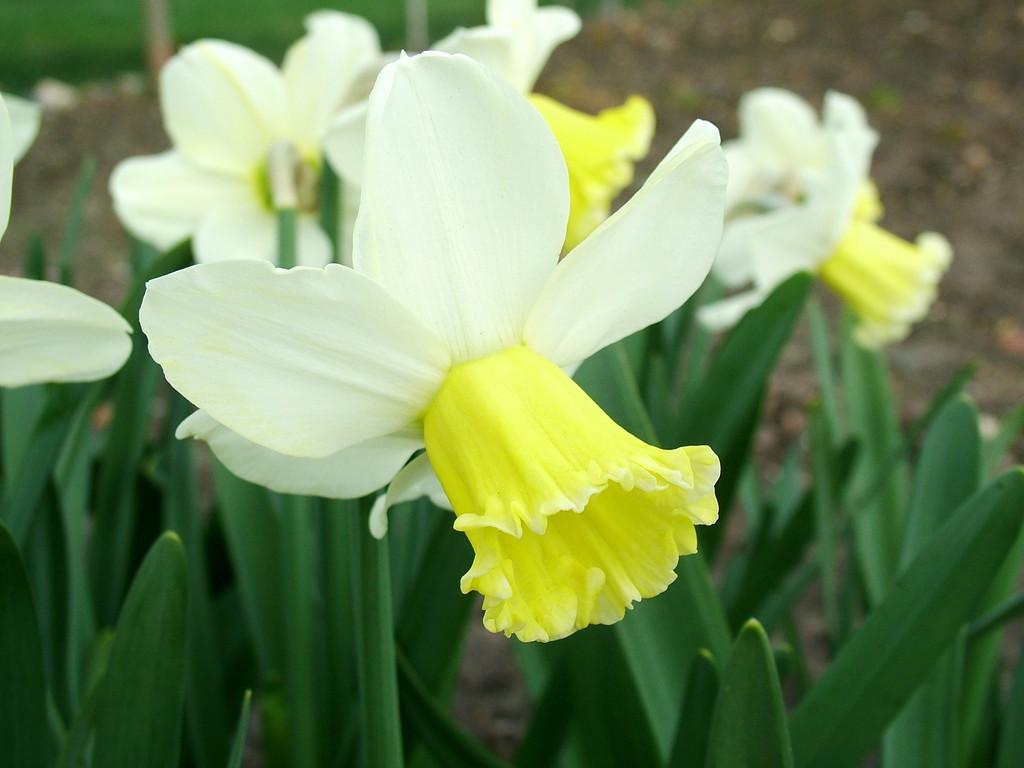 daffodil 'Spring Essence'