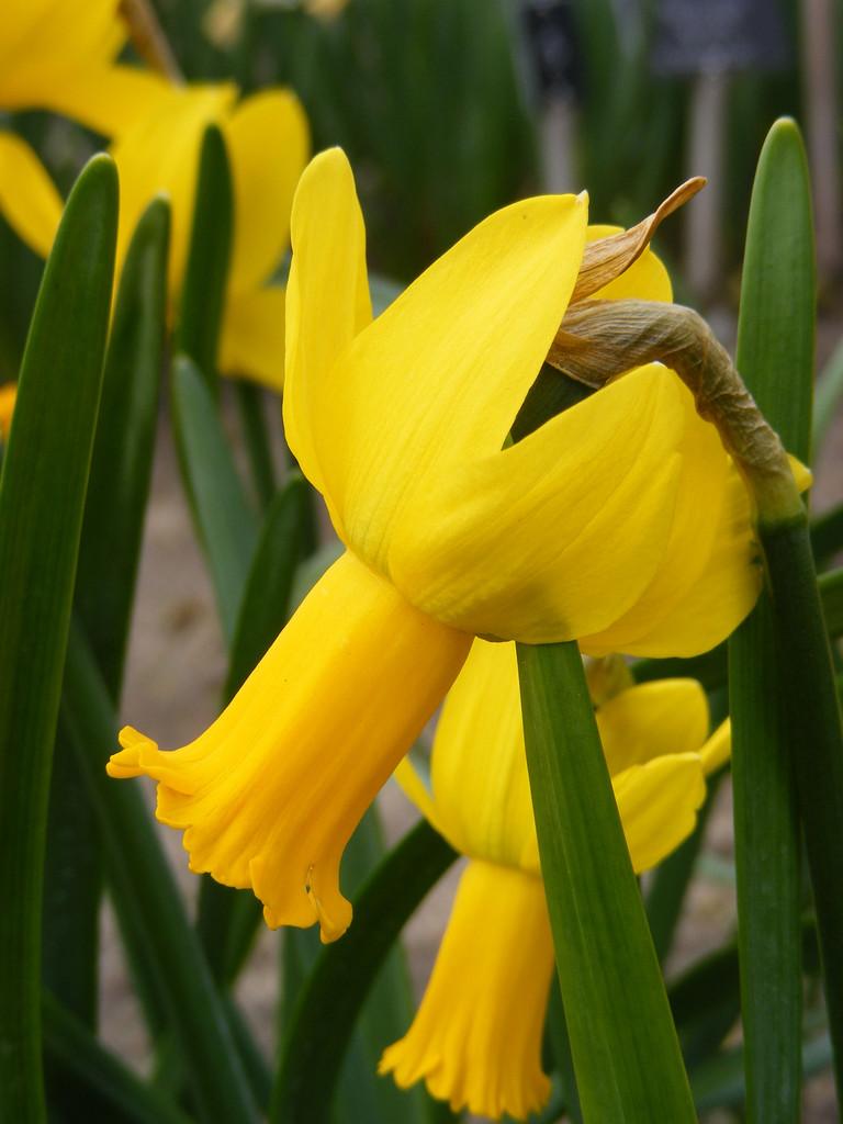daffodil 'Warbler'