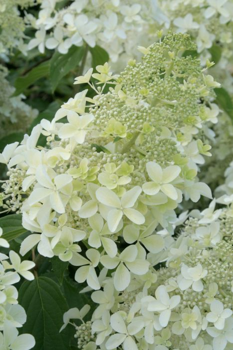 paniculate hydrangea 'Dolly'