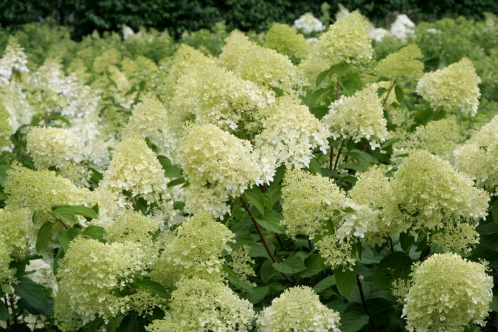 hydrangea paniculata 39 limelight 39 pbr paniculate hydrangea 39 limelight 39 rhs gardening. Black Bedroom Furniture Sets. Home Design Ideas