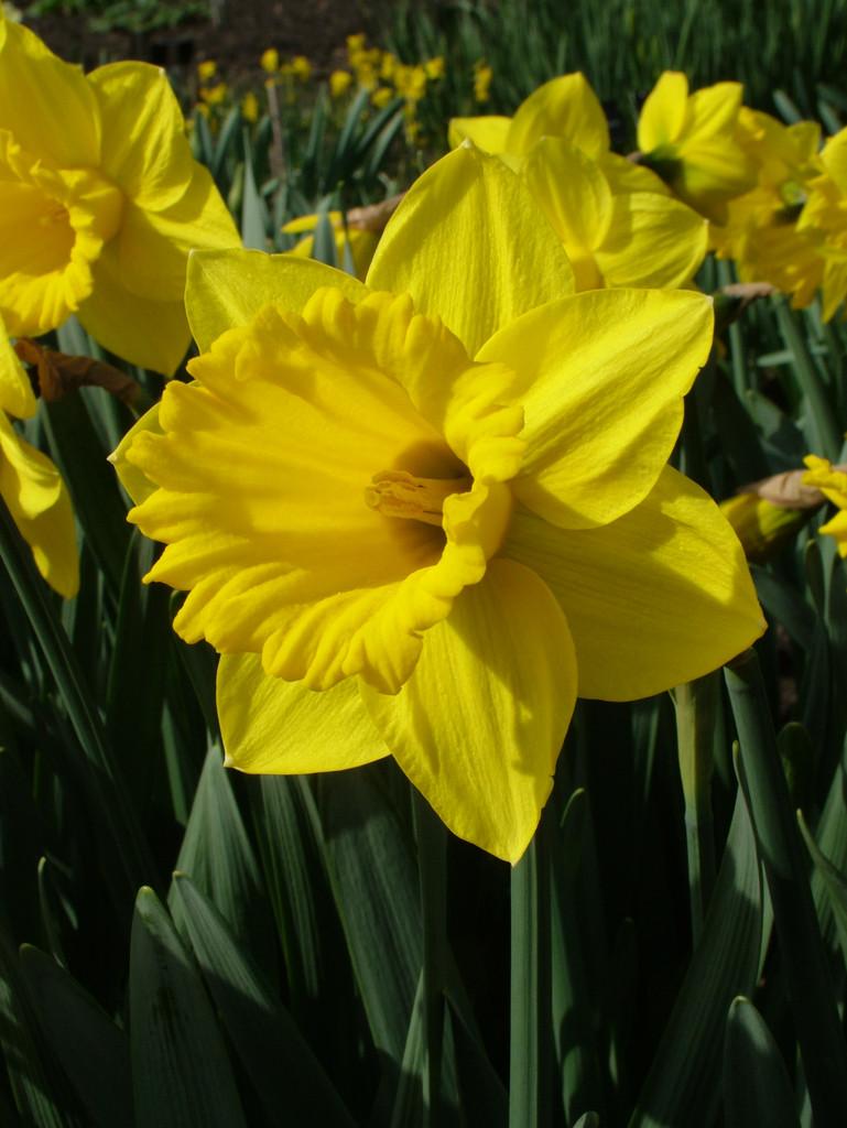 daffodil 'Patrick Hacket'