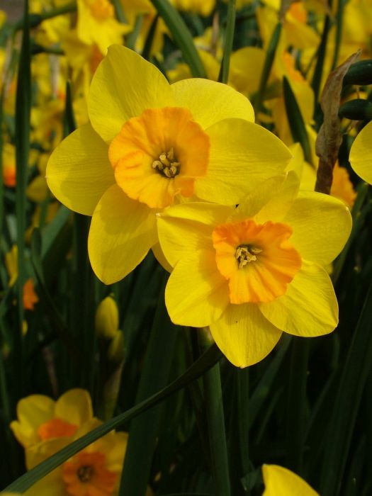daffodil 'Andrew's Choice'