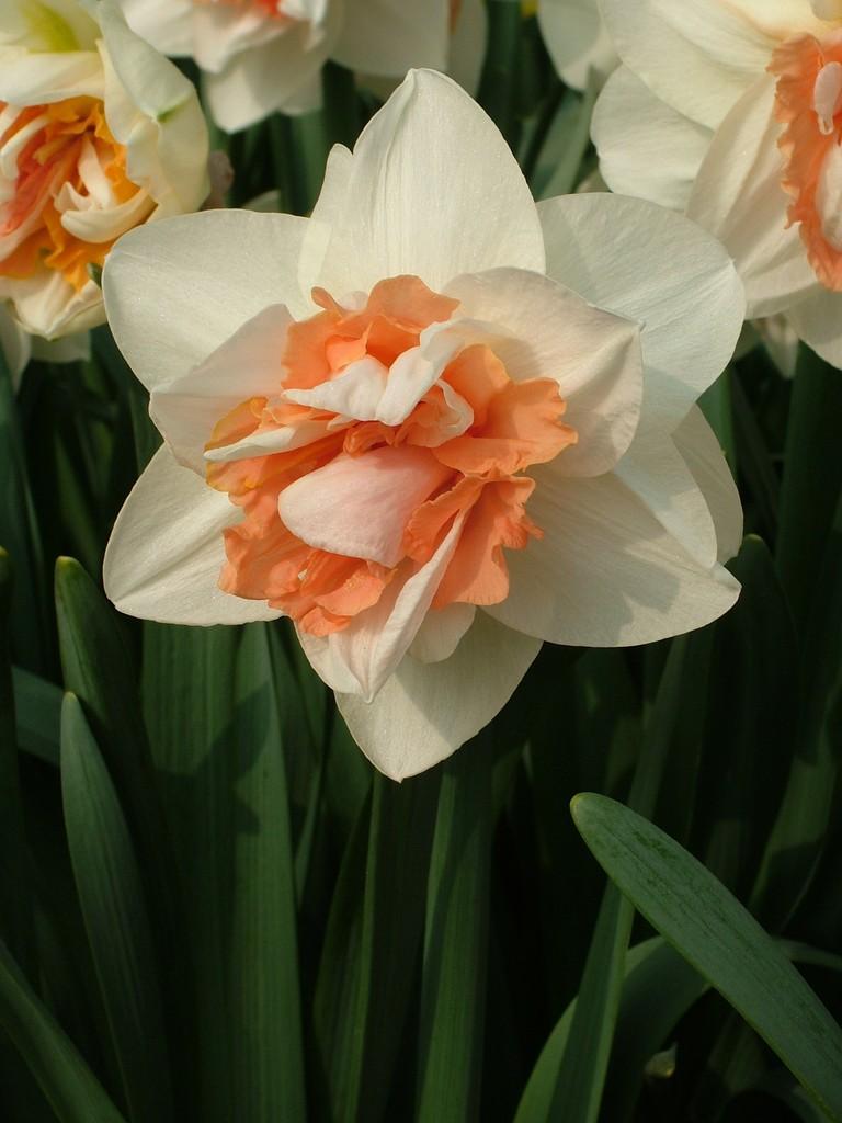 daffodil 'My Story'
