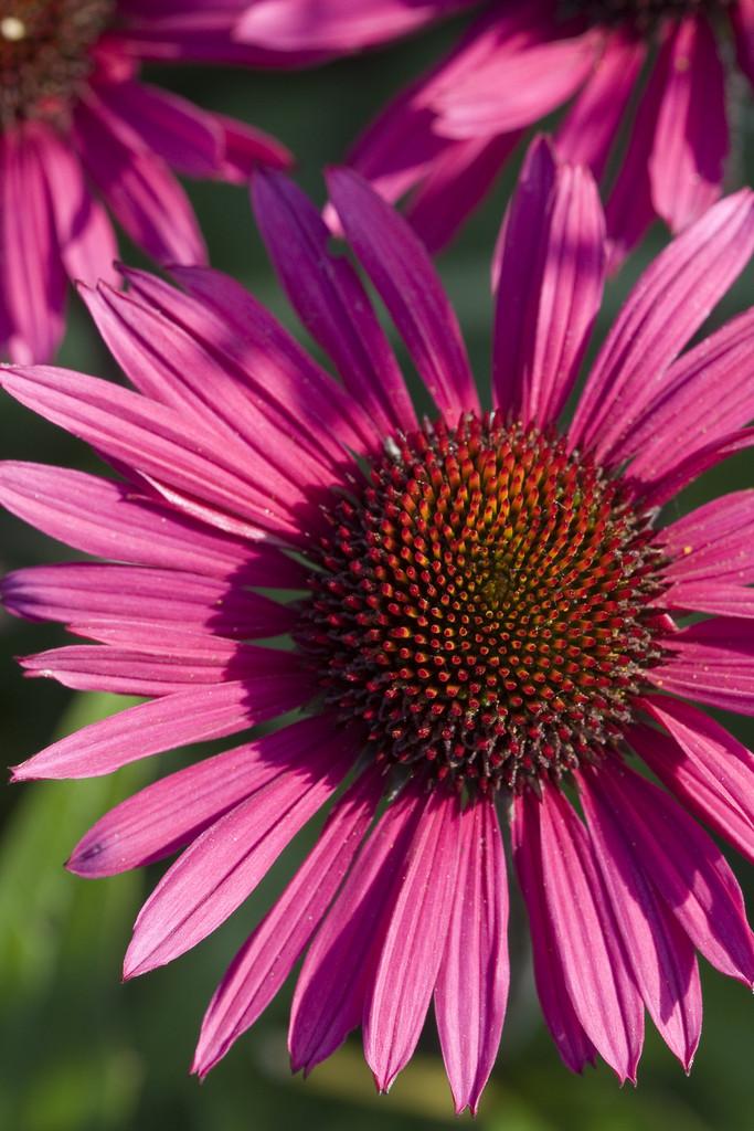 echinacea purpurea 39 fatal attraction 39 pbr purple. Black Bedroom Furniture Sets. Home Design Ideas
