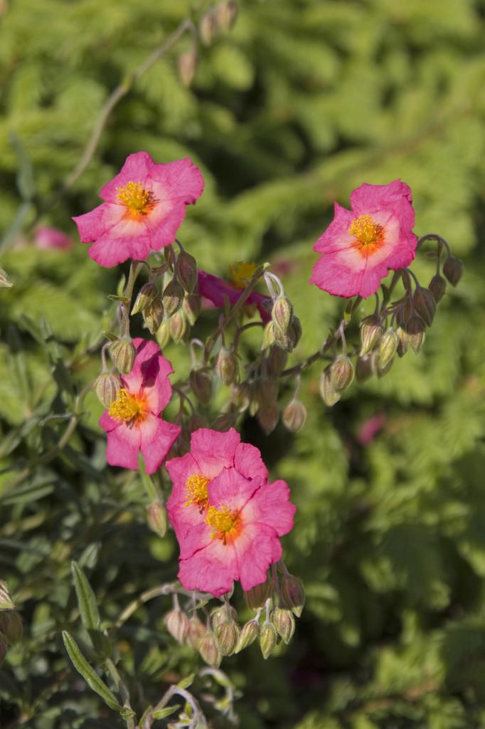 rock rose 'Georgeham'