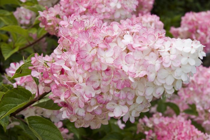 hydrangea paniculata vanille fraise 39 renhy 39 pbr. Black Bedroom Furniture Sets. Home Design Ideas