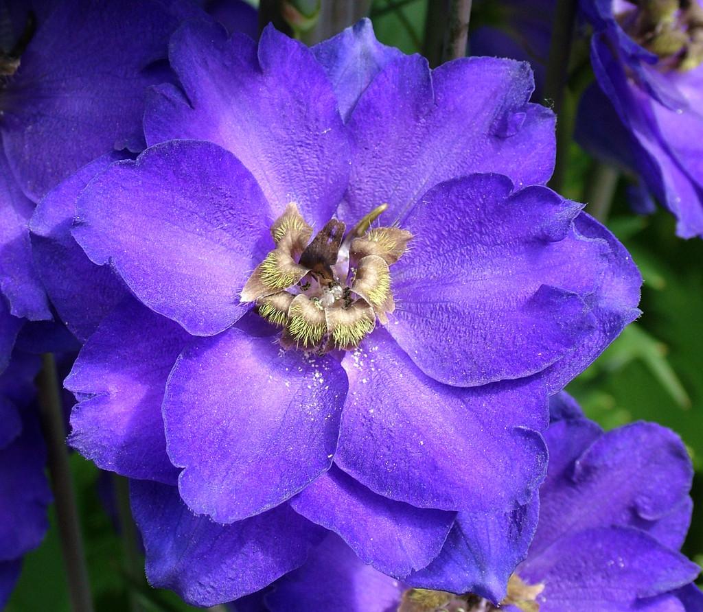 delphinium 'Purple Velvet'