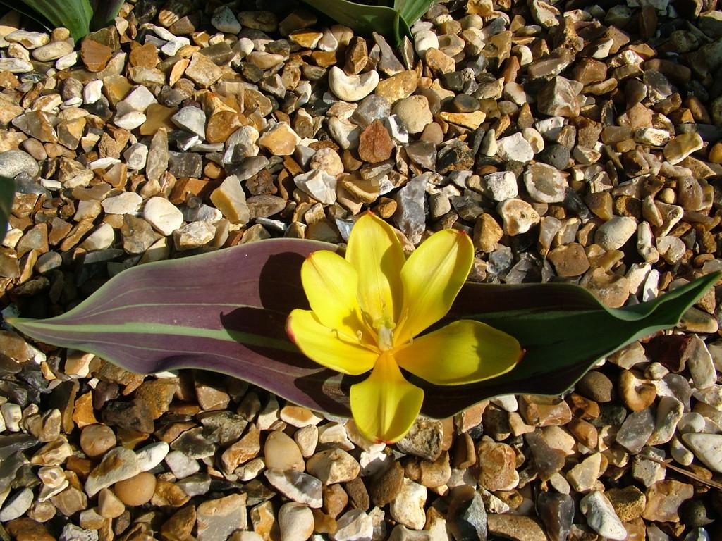 <i>Tulipa dubia</i> 'Beldersai' (15)
