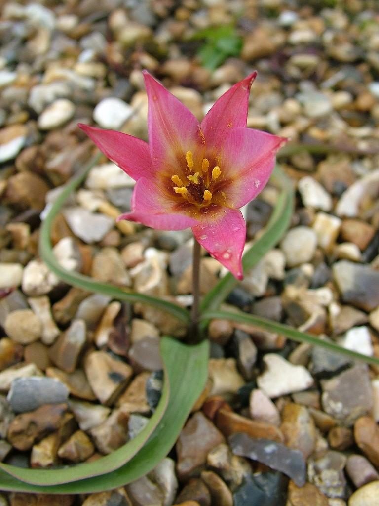 Aucher's tulip