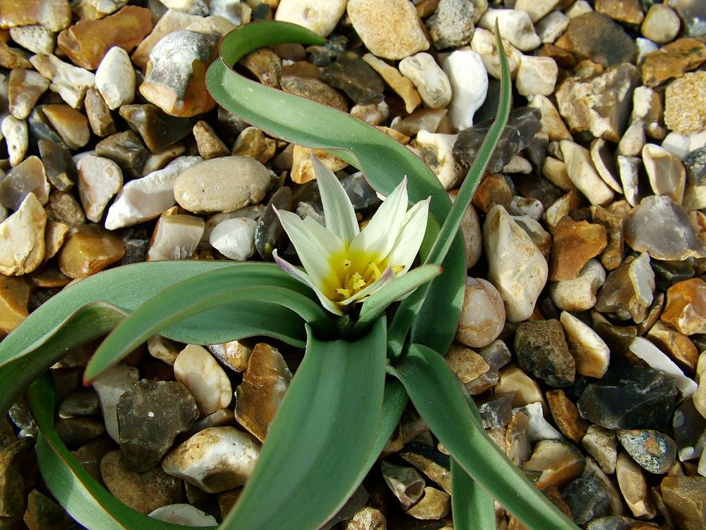 tulip 'Starlight'
