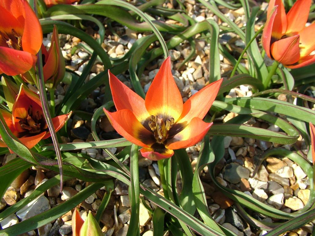 tulip 'Little Princess'