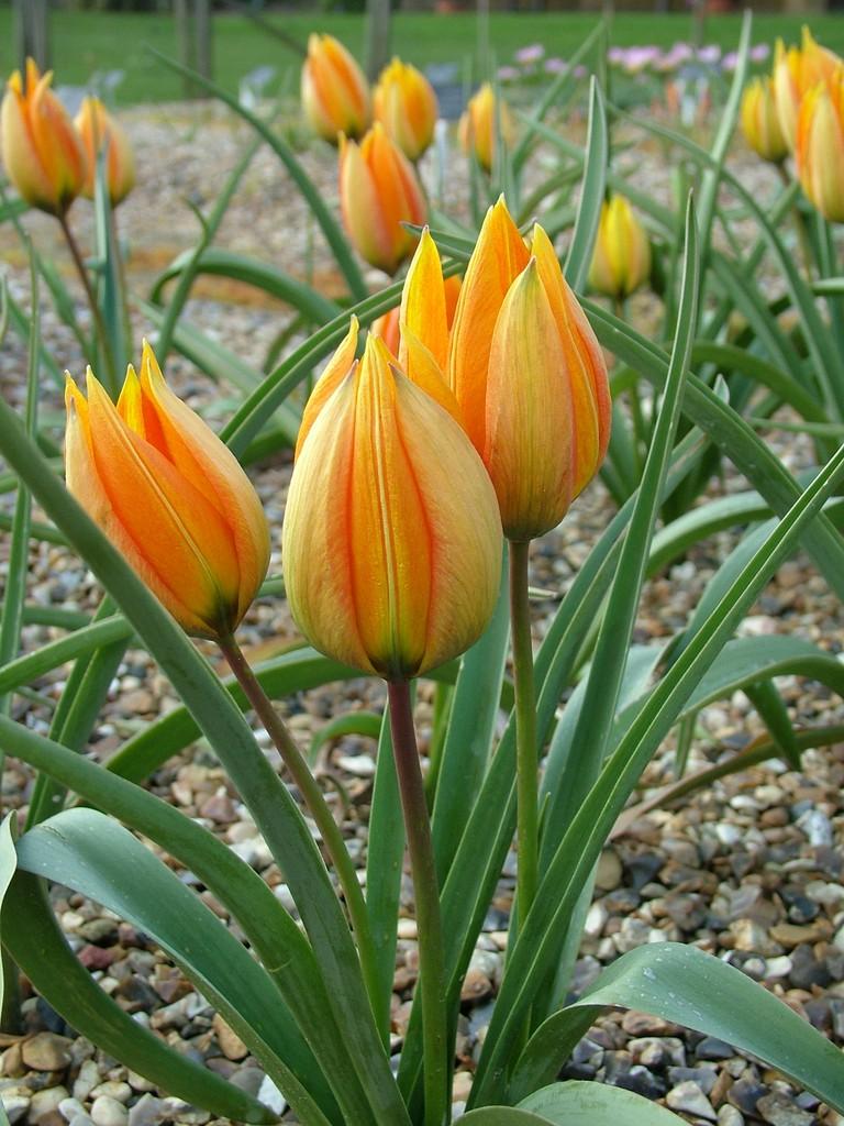 tulip 'Flava'