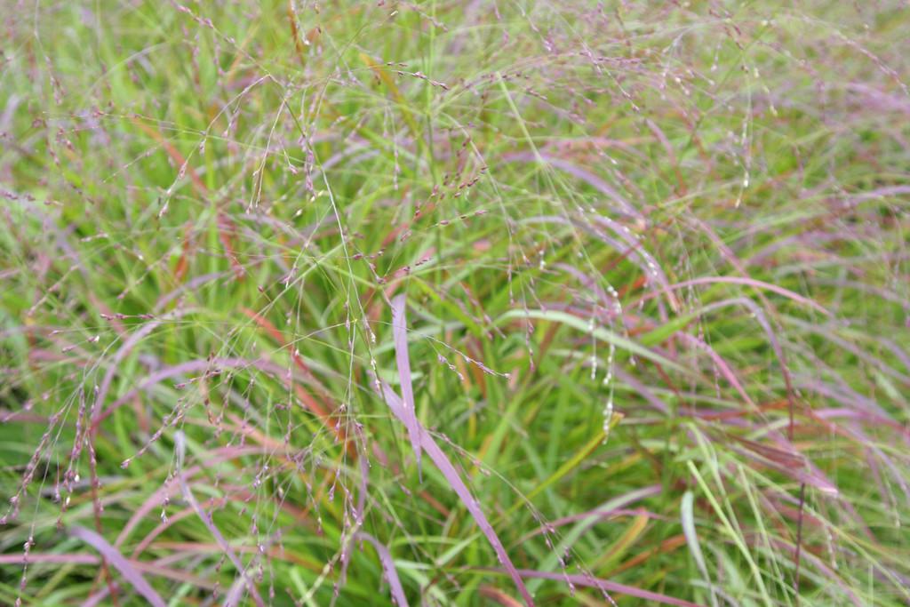 switch grass 'Hänse Herms'