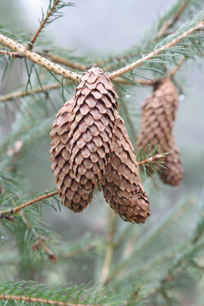Lijiang spruce