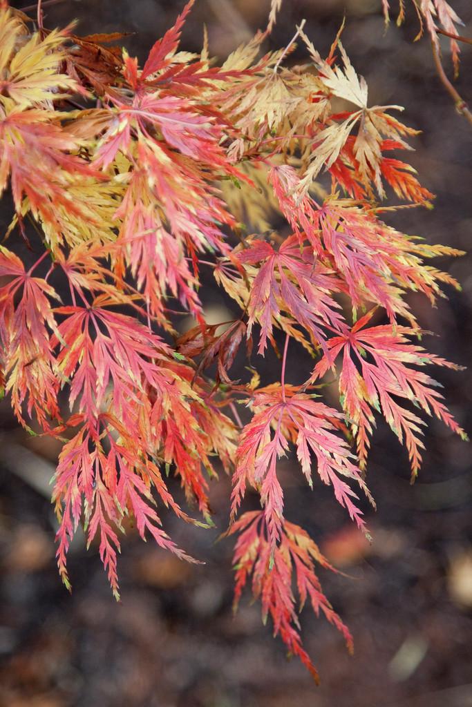 Japanese maple 'Seiryu'