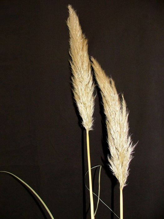 pampas grass [Silver Feather]