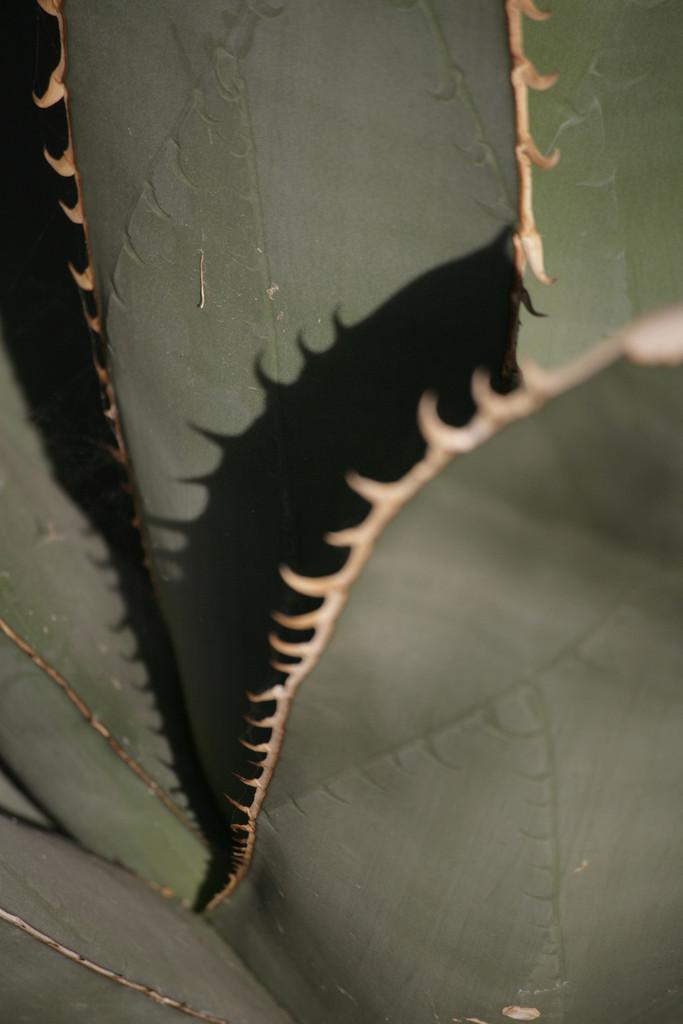 chalk agave