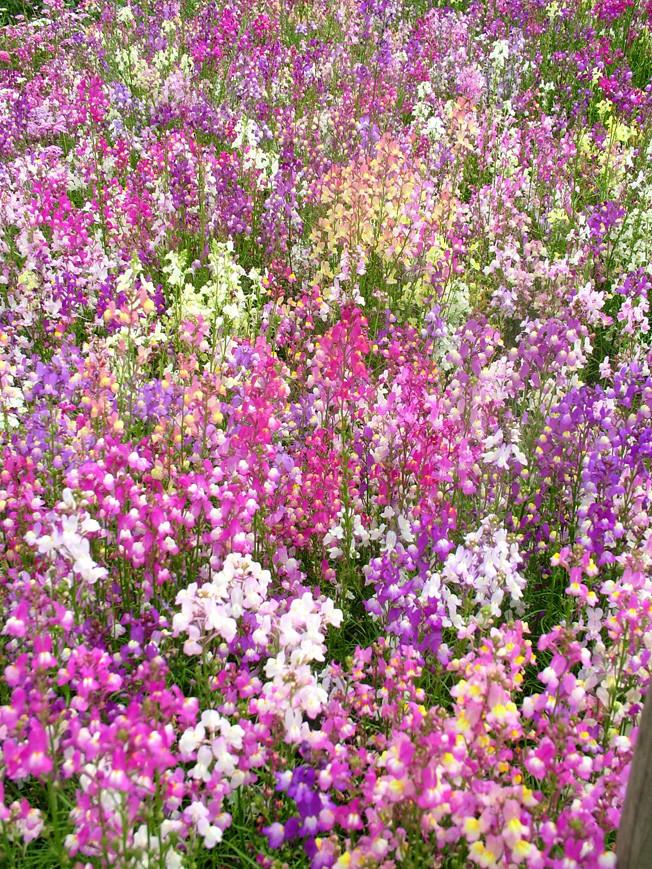Linaria maroccana Fairy Bouquet Group | toadflax Fairy