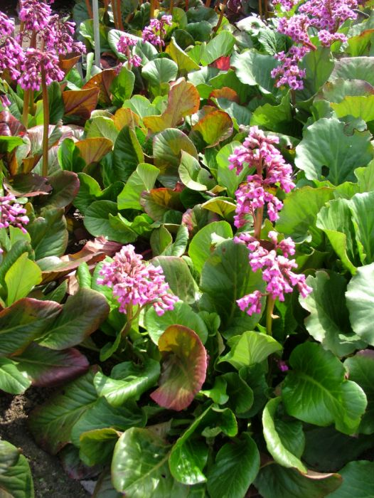 purple bergenia 'Irish Crimson'