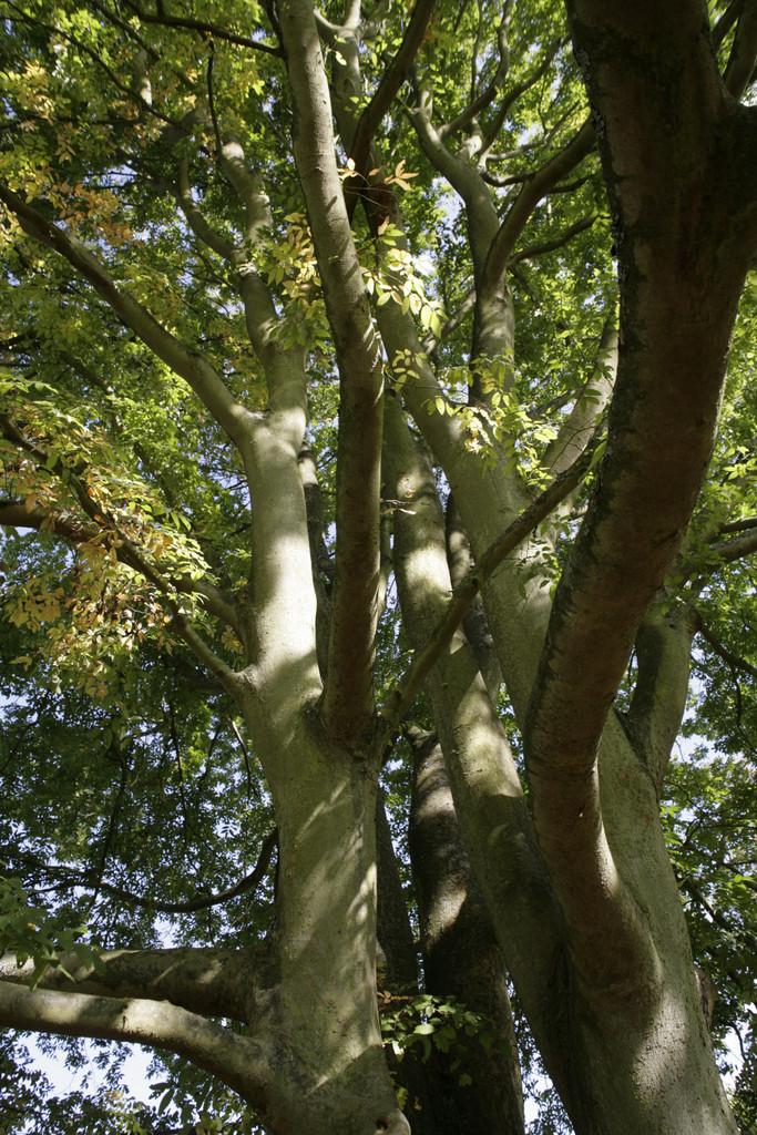 Caucasian elm