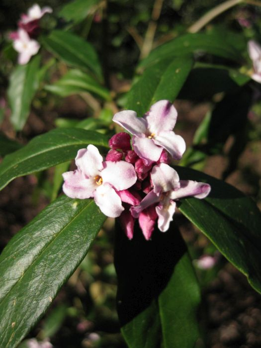 daphne 'Peter Smithers'