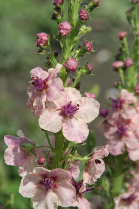 mullein 'Southern Charm'
