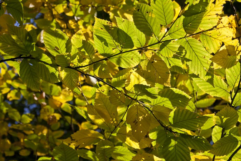 Schmidt's birch