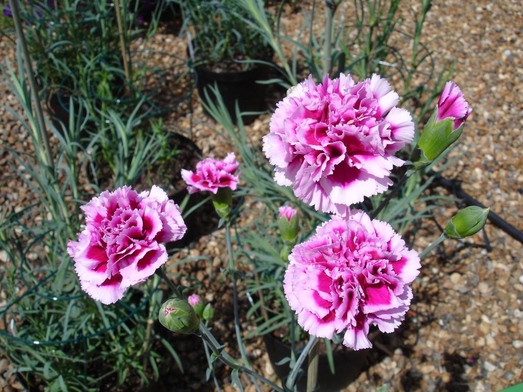 rhs advice tips on garden indoor plants plant finder selector rhs gardening. Black Bedroom Furniture Sets. Home Design Ideas
