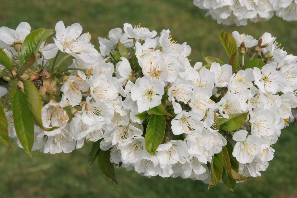 cherry (sweet) 'Lapins'