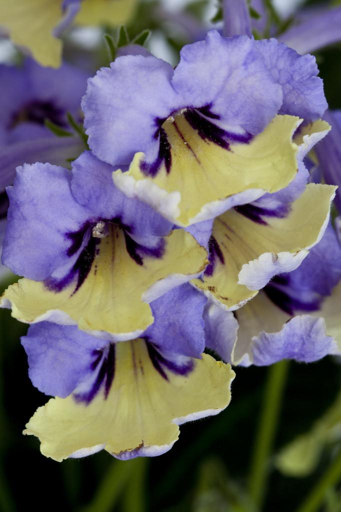 Cape primrose 'Harlequin Blue'