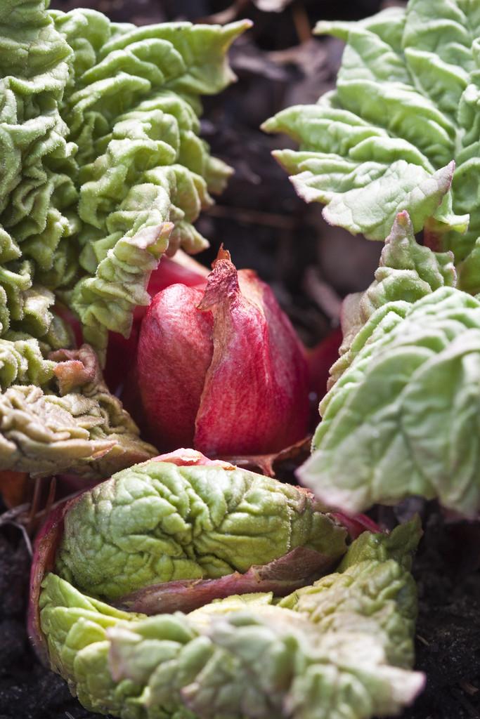 rhubarb 'Stein's Champagne'