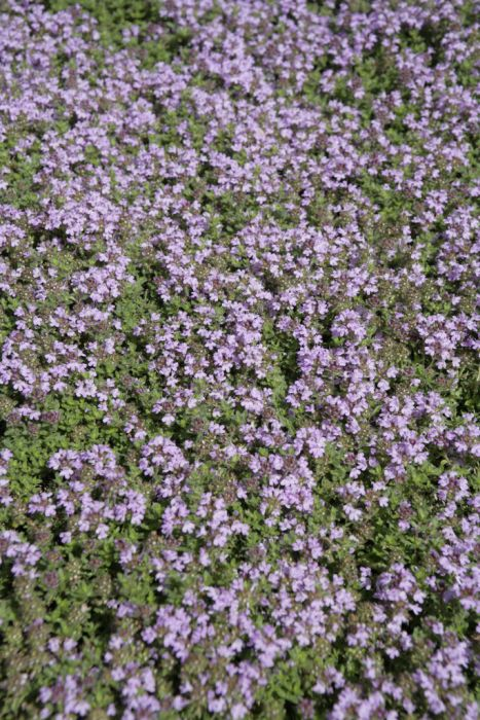 <i>Thymus polytrichus</i> A. Kern. ex Borbás subsp. <i>britannicus</i> (Ronniger) Kerguélen