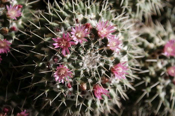 Mexican pincushion