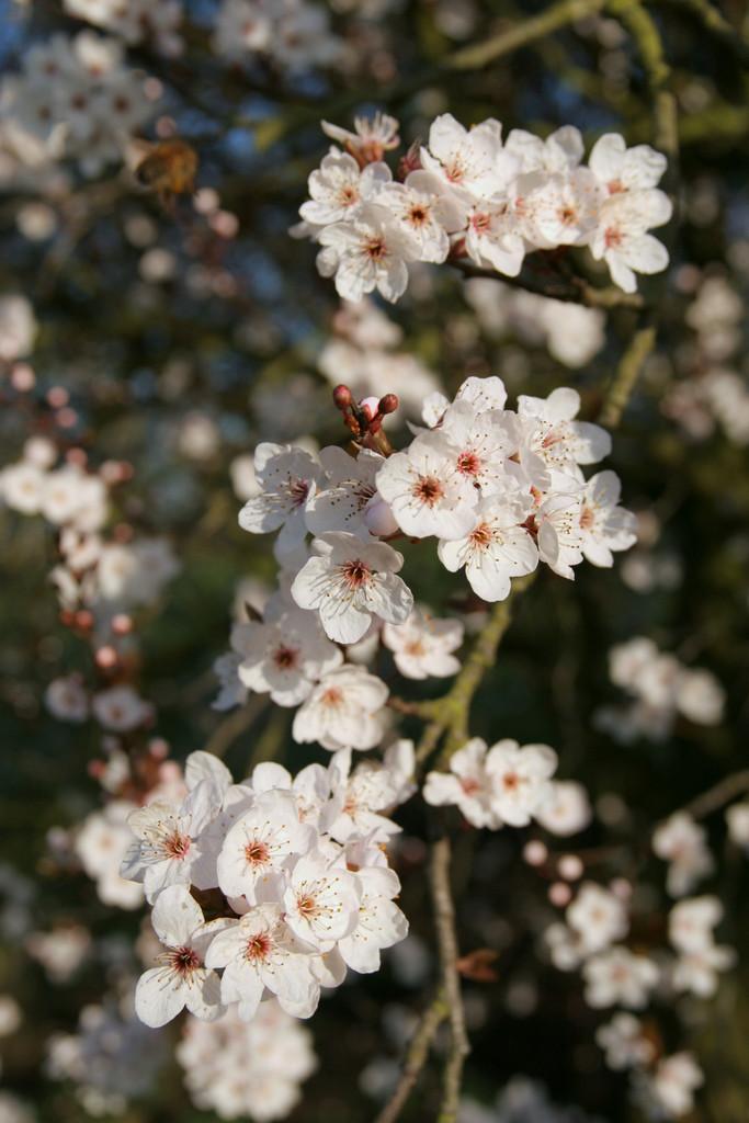 cherry plum 'Pissardii'