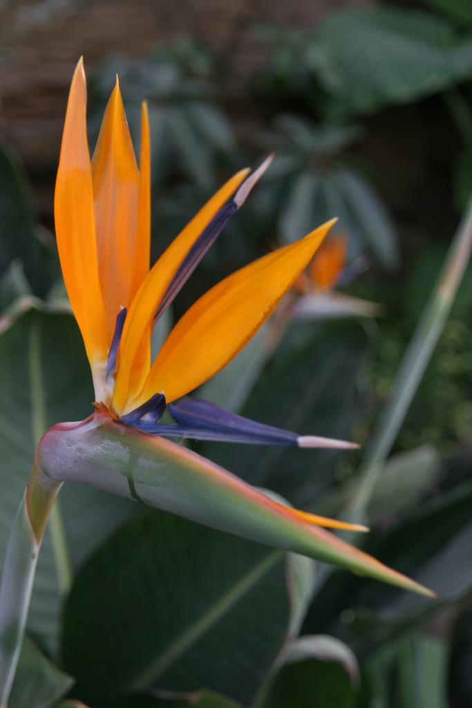Strelitzia Reginae Bird Of Paradiserhs Gardening