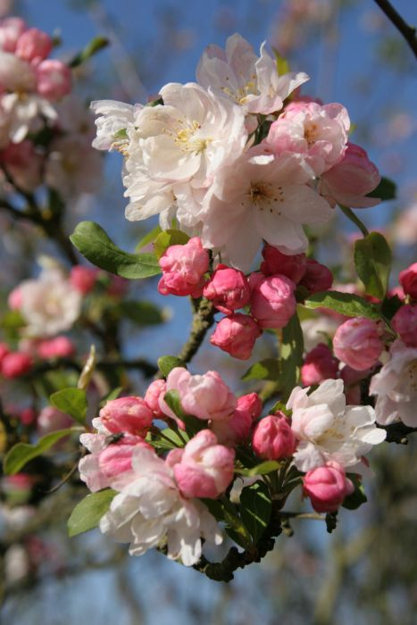crab apple 'Snowcloud'