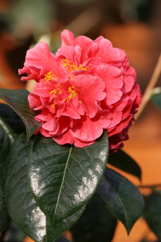 camellia 'Doctor Clifford Parks'