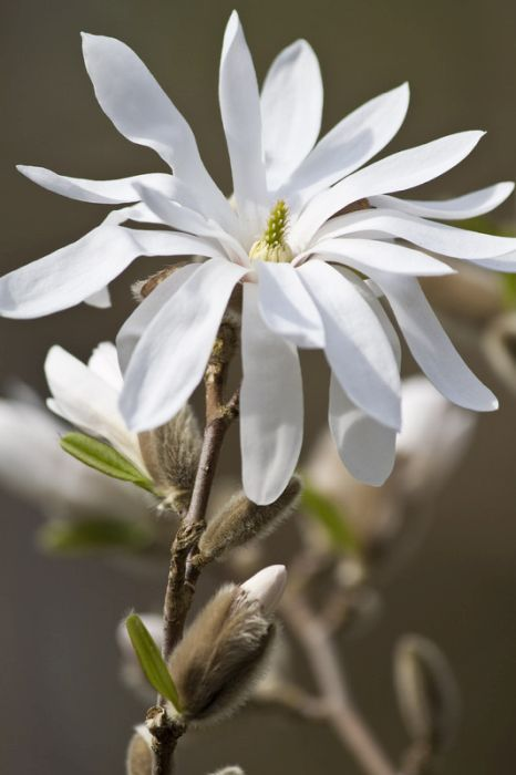star magnolia 'Water Lily'