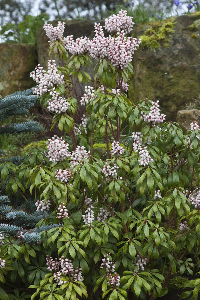 Pieris japonica 39 katsura 39 pbr pieris 39 katsura 39 rhs for Pieris japonica