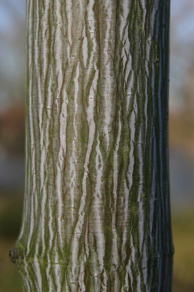 <i>Acer</i> 'White Tigress'